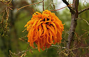 Cedar apple rust galls